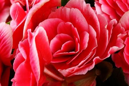 begonia: Begonia.