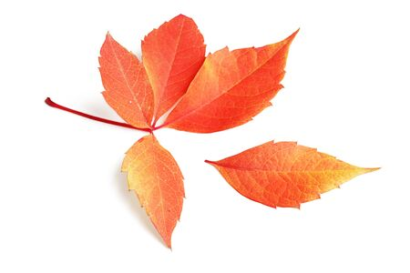 Fallen autumn leaf on a white background.