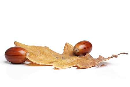 Oak leaves and two acorns on a white background. photo