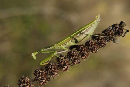 Praying mantis in natural habitat, macrophotography