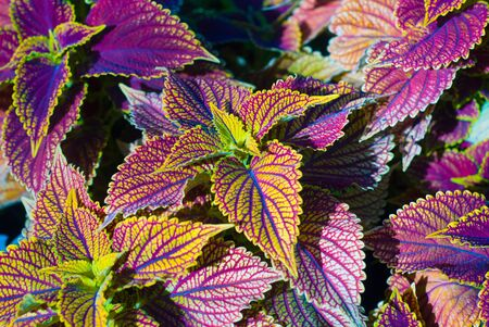 Background from colorful leaves, a beautiful plant Stock Photo