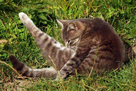 Un hermoso gato doméstico gris se está bañando al sol en el patio trasero, instantánea de primer plano