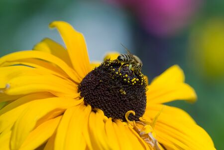 Yellow flower and bee in nature, macro photography Stock Photo