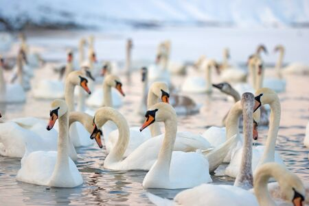 Swans on the lake in winter