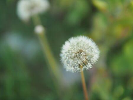 greenery: dandelion dandelion, greenery, bokeh, focus, advertising, background, backdrop