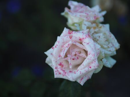 beautifully: rose flower rosa, flower, beautifully, fine, roses, bokeh, Exclusive