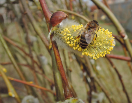 stamen wasp: bee on willow
