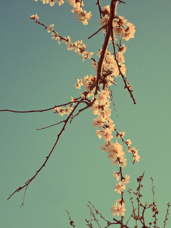 apricot: blooming apricot