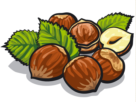 illustration of hazelnuts with leaves