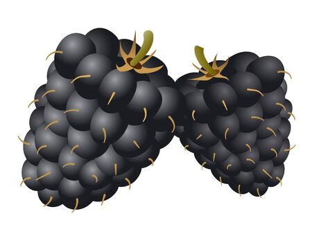 illustration of the two mulberries on the white background