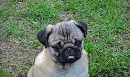 photo image of the pug puppy sitting on the ground in the sunny daylight Standard-Bild