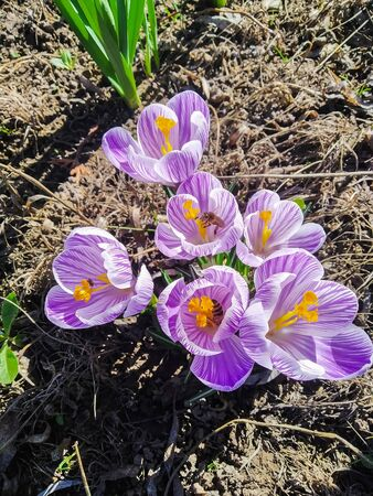 photo image of the crocuses on the meadow at the spring garden