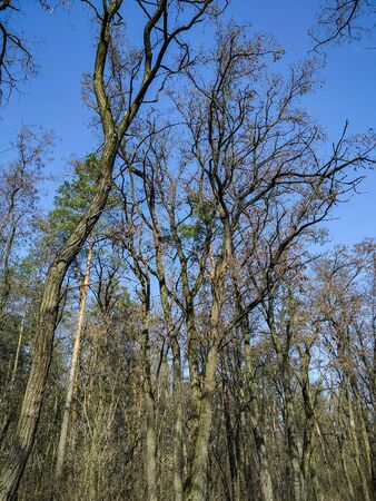 photo image of the spring forest trees on the background blue sky in the sunny day