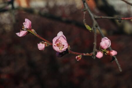 blooming peach tree in the spring garden