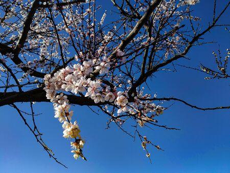 blooming apricot tree in the spring garden Standard-Bild