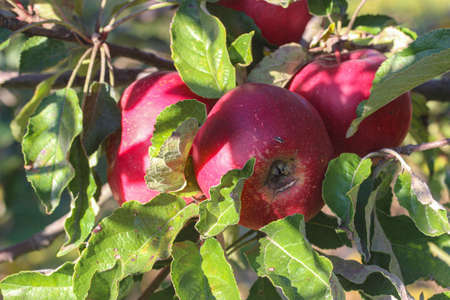 photo image of the branch apple tree with juicy ripe red apples on a sunny day