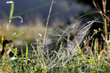 cobwebs: cobwebs in the morning the grass