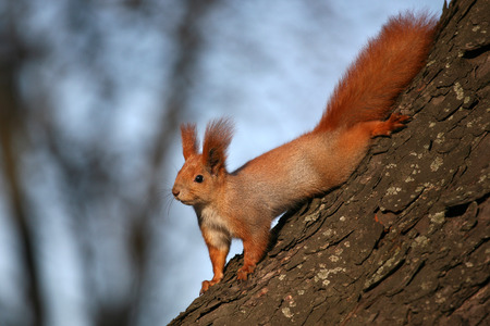 furry tail: squirrel on the tree in the sunlight Stock Photo