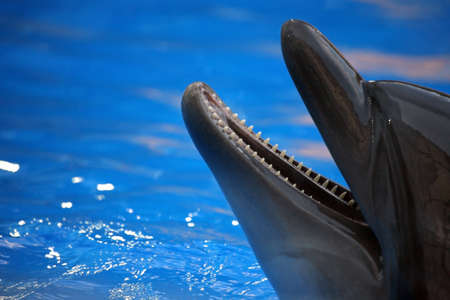 porpoise: portrait of a dolphin with an open mouth