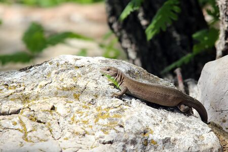 reptilian: lizard basking in the sun Stock Photo