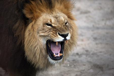唸りアフリカ ライオンの肖像画