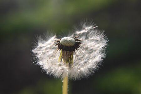 blown away: dandelion is half blown away by the wind on blurred background