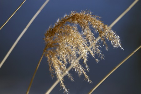 swaying: a branch of the reeds swaying in the wind