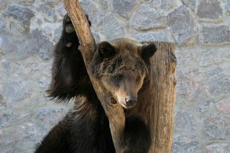 clinging: brown bear clinging to a tree trunk