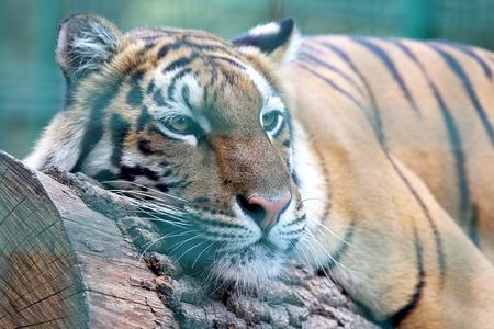 tigresa: Primer del tigre de Amur descansando sobre el árbol