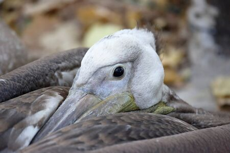 animal pouch: a large portrait of a resting Pelican Stock Photo