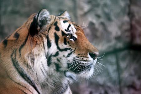 portrait of Amur tiger