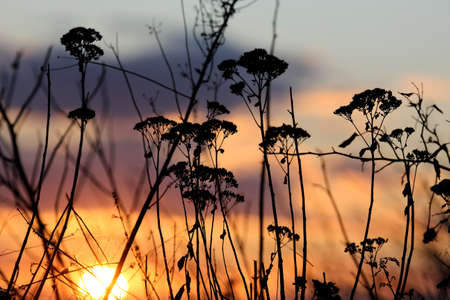 reed stem: sunset in the sky on the background of grass Stock Photo