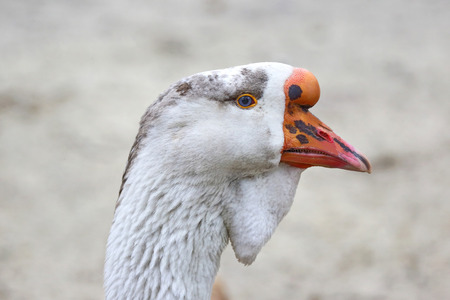 goose head: the head of a goose Kholmogory breed
