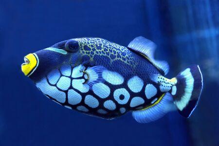 trigger fish: bright trigger fish close up Stock Photo