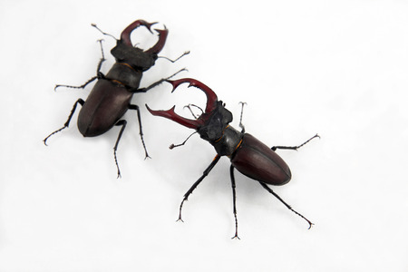 feeler: two male beetles deer on white background Stock Photo
