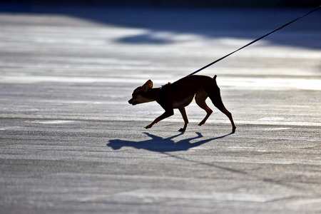 pedigree: the silhouette of a small pedigree dogs on a leash