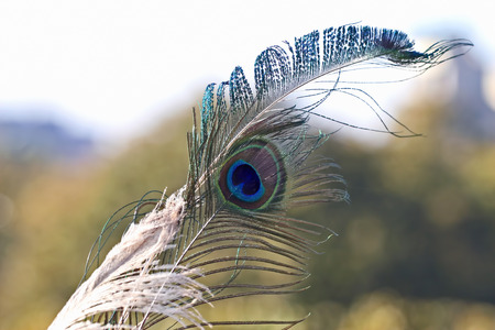 flaunt: peacock feather on soft background