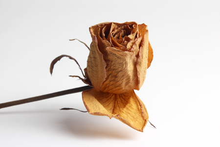 dried rose petal on white background