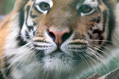 tigresa: retrato de tigre de Amur Foto de archivo