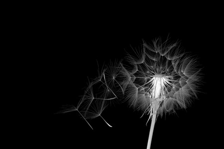 inversion: dandelion and its flying seeds in a color inversion