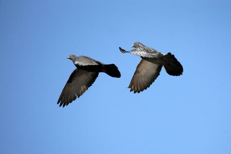 two doves in the sky Stock Photo