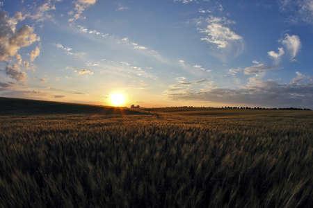 juicy wheat field in bright sunlight Stock Photo