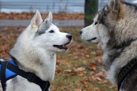 dog breed husky for a walk Banco de Imagens