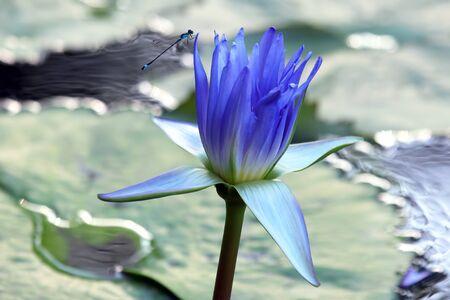 juicy blossoming Lotus with dragonfly closeup Foto de archivo