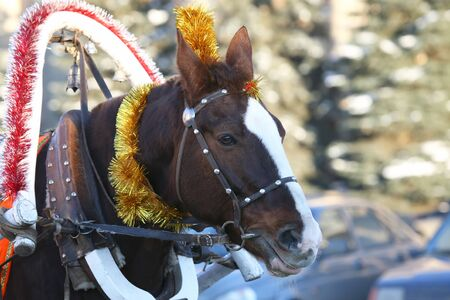 horse in harness with Christmas decoration