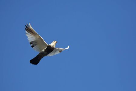 pigeon flying in the blue sky