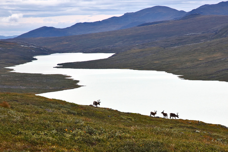 Reindeer grazing on the lake Stock Photo - 108389575