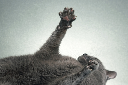 outstretched paws with grey cat claws