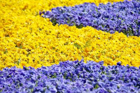 flowerbed with different flowers pansies Zdjęcie Seryjne