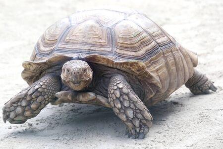 big elephant turtle crawling on sand. wildlife